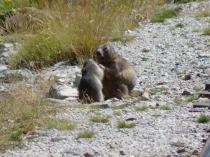 Marmottes- www.gites-pyrenees-64.net